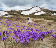 Spring landscape with flowers and dog Royalty Free Stock Image