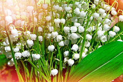 Spring landscape. Flowers lily of the valley Stock Photography
