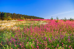 Spring  landscape with  flowers on a meadow Royalty Free Stock Photos