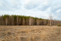 Spring landscape. Forest, birch, dry grass. Stock Photos