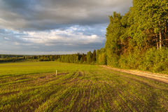 Spring landscape, forest edge. The field on which wheat rises Royalty Free Stock Photo