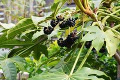 Fruits of Japanese aralia. Spring landscape / Fruits of Japanese aralia Royalty Free Stock Photos