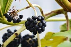 Fruits of Japanese aralia. Spring landscape / Fruits of Japanese aralia Stock Images