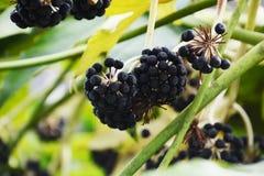 Fruits of Japanese aralia. Spring landscape / Fruits of Japanese aralia Stock Photography