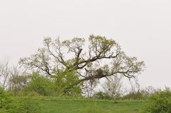Old tree. Spring landscape in a gloomy day Royalty Free Stock Images