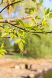 Green branches of the spring tree. Acer negundo plant. Spring landscape. Spring landscape with green branches of the spring tree. Acer negundo plant stock images