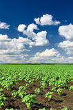 Spring landscape, green field with vegetable seedling bush and blue cloudy sky Royalty Free Stock Photos
