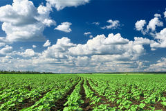 Spring landscape, green field with vegetable seedling bush and blue cloudy sky Stock Images