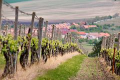 Spring landscape with green vineyards and town at background. Gr Royalty Free Stock Photo