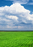 Spring landscape - green wheat field and blue sky Royalty Free Stock Photo