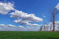 Spring landscape: green wheat field and blue sky with fluffy clouds. Beautiful background Royalty Free Stock Images