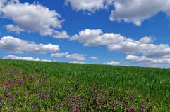 Spring landscape: green wheat field and blue sky with fluffy clouds. Beautiful background Stock Photo
