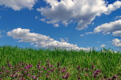 Spring landscape: green wheat field and blue sky with fluffy clouds. Beautiful background Stock Image