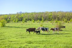 Green meadow with cows. Spring landscape with herd of cows on the green meadow Royalty Free Stock Image
