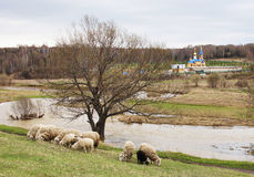 Spring landscape with a herd of sheep and Christian church Royalty Free Stock Photo