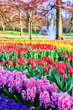 Spring landscape with hyacinths and multicolor tulips Royalty Free Stock Images