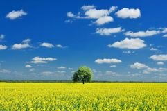 Spring Landscape, Lonely tree and Colza Field Stock Images