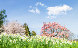 Spring landscape with  narcissus. Stock Photo