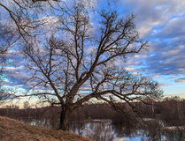Spring landscape, oak on the bank of the river. In the background and sky with light clouds Stock Photos