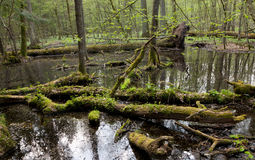 Spring landscape of old forest and broken trees Stock Photo