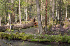 Spring landscape of old forest and broken trees Stock Photography