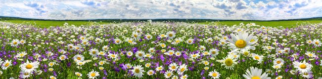 Spring landscape panorama with flowering flowers on meadow. White chamomile and purple bluebells blossom on field. panoramic summer view of blooming wild royalty free stock photo