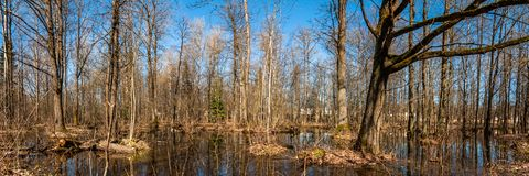 Spring landscape. Panoramic view of a wooded marshland. Flooded forest. Under the blue clear sky stock photo