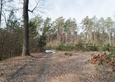 Spring landscape. The path in the pine forest Royalty Free Stock Images