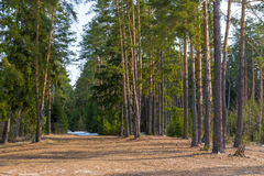 Spring landscape of pine forest Royalty Free Stock Photos