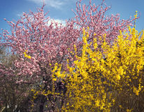 Spring landscape, pink cherry tree and yellow forsythia Royalty Free Stock Photos