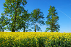 Spring landscape with rape field and trees Royalty Free Stock Photos