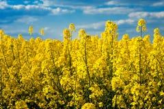 Spring Landscape of Rape Field under Blue Sky. Spring Landscape of Rape Field in Bloom under Blue Sky Royalty Free Stock Photo