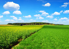 Spring landscape with rapeseed field. In sunny day Stock Photos