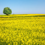 Spring landscape of rapeseed flower field Stock Photography