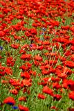 Spring landscape - red poppies Royalty Free Stock Images