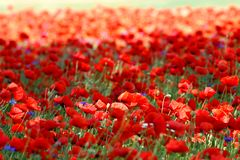 Spring landscape - red poppies Royalty Free Stock Photography