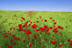 Spring landscape - red poppies. Field Stock Photos