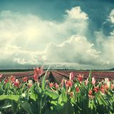 Spring Landscape with Red Tulips stock photo