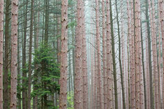 Spring, Pine Forest Stock Photography