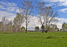 Birches in spring time. Spring landscape with some birches in the meadow royalty free stock photography