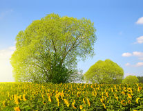 Spring landscape with sunflower field Stock Photo
