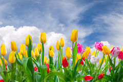 Spring landscape with tulip Royalty Free Stock Photos