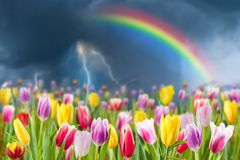 Spring landscape with tulip meadow. Rainbo and lightning in sky, selective focus royalty free stock images