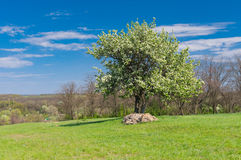 Spring landscape with two flowering pears Royalty Free Stock Photography