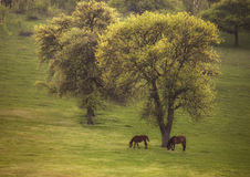 Spring landscape with two wild horses and blooming Royalty Free Stock Image
