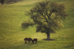 Spring landscape with two wild horses and a tree Stock Photos