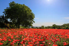 Spring landscape; walnut tree in field of poppies. BASILICATA (ITALY). Royalty Free Stock Image