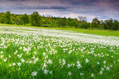 Spring landscape and white daffodils flowers Stock Photos