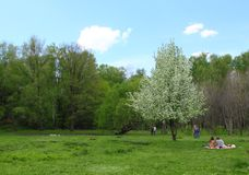 Spring landscape. White flowering tree in the Park royalty free stock photo