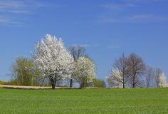 Spring landscape with white flowering trees and blue sky royalty free stock photography